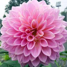 Semillas de flores de dalia, flor nacional de méxico, plantas de jardín…