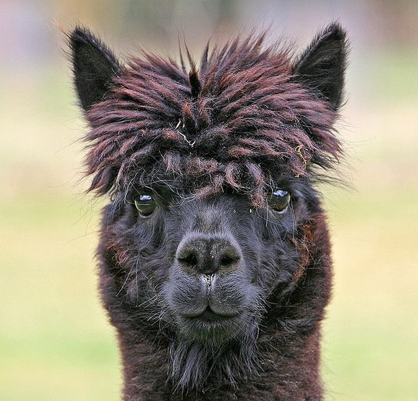 Alpaca with fabulous hair, part the first