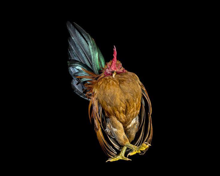 cocks-ernest-goh-06.jpg (1200×960)