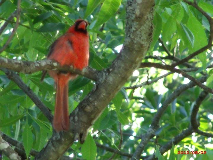 Cardinal Amateur 82