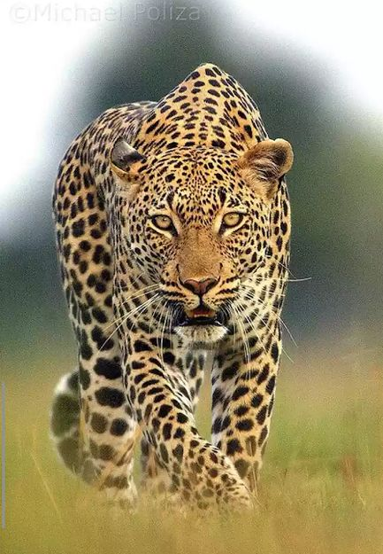 Leopardo (Panthera pardus) : Habitante da África e Ásia é o menor exemplar dos grandes felinos, seu tamanho e força lhe permite escalar árvores levando suas presas até o alto e se alimentar protegido de outros predadores maiores.
