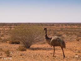 Emu - Broken Hill