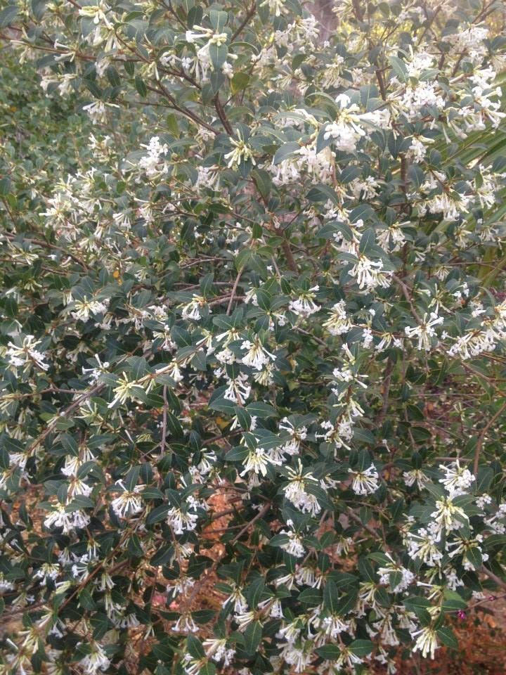 UC Botanical Garden At Berkeley. See More. Osmanthus Delaveyi, From Sichuan  Province, China, Growing In The Asian Area At The
