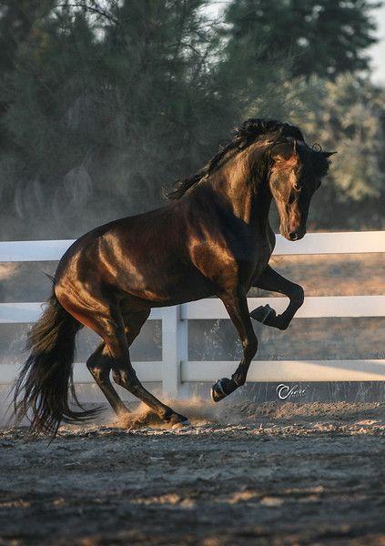 cc Morgan Stallion