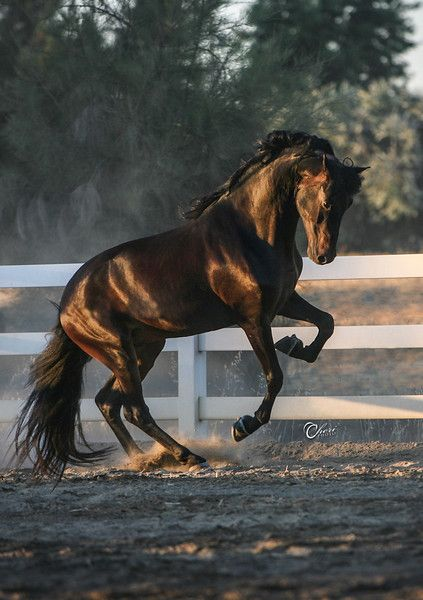 Morgan Stallion, horse, hest, brown beauty, movement, white fence, dust, dusty, trees, animal, beautiful, shiny, gorgeous, photograph, photo