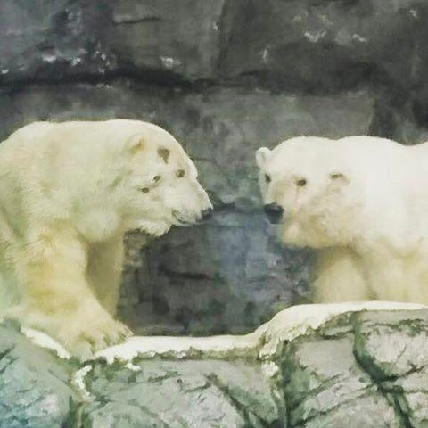 seaparadise_official 春は恋の季節❣️ シーパラでは繁殖を目指して、本日よりホッキョクグマの「ユキ丸」と「ユキヒメ」の2頭を同時に展示いたします🐻❗❗ ※2頭の様子によってはすぐに中止する場合もあります。  #シーパラ  #八景島シーパラダイス #八景島 #水族館 #aquarium #シロクマ #ホッキョクグマ  #可愛い #cute #cuteanimals #恋の季節 #春の楽園 横浜・八景島シーパラダイス 2017/04/08 19:49:57