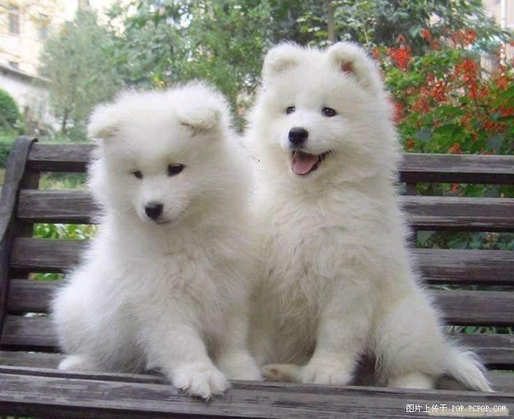 Samoyed puppies - I WANT ONE