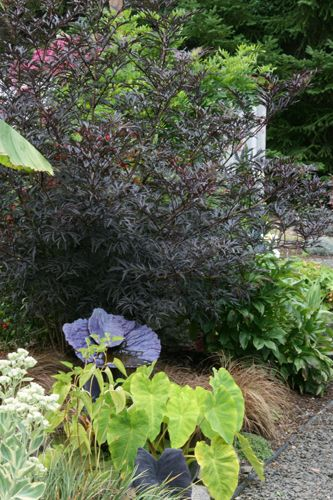 Sambucus nigra 'Eva' BLACK LACE ™ PURPLE CUTLEAF ELDERBERRY