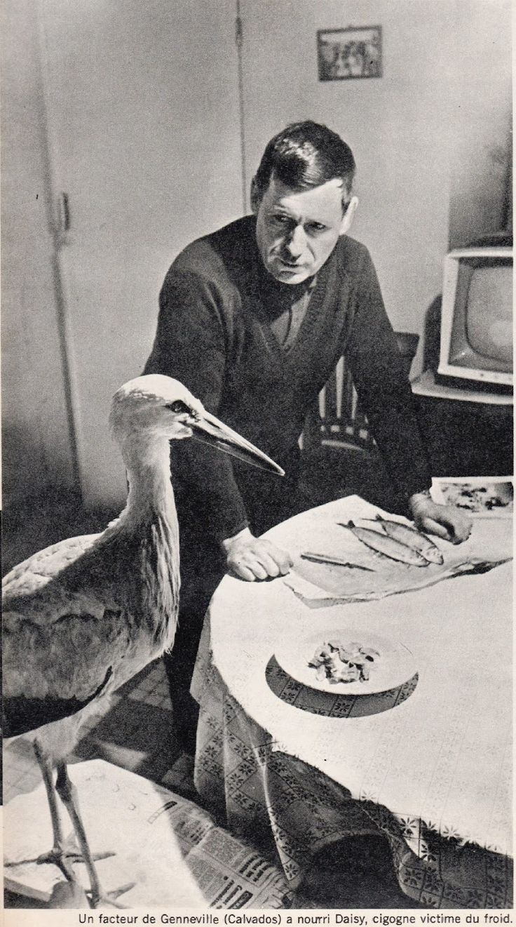 A postman of Genneville feeds Daisy the stork, victim of cold.