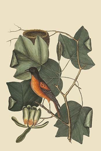 Baltimore Oriole by Mark Catesby - Art Print  #9785873063789 #Buyenlarge #ExoticBirds #MarkCatesby #New