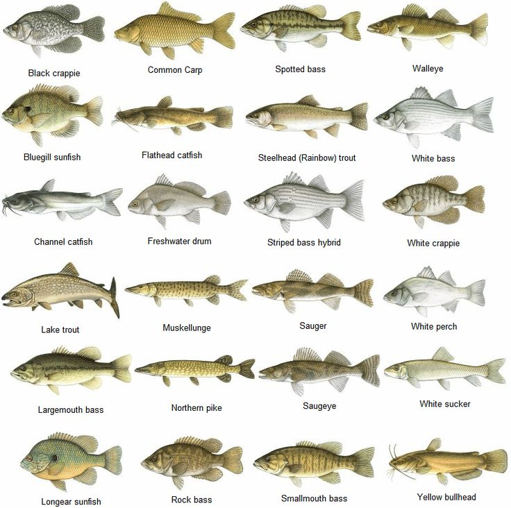 1000 images about visboer on pinterest for Lake pontchartrain fish species