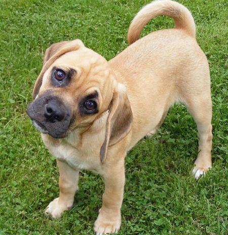 Beagle and a Pug Mix! Soooo cute!!