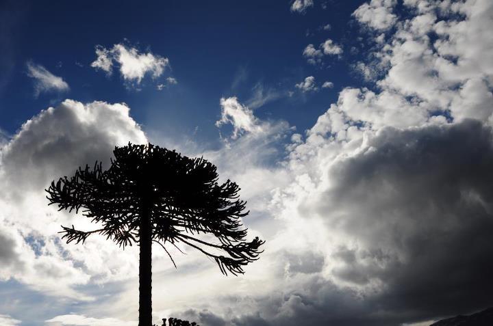 Chile's native Araucaria trees in Conguillio National Park