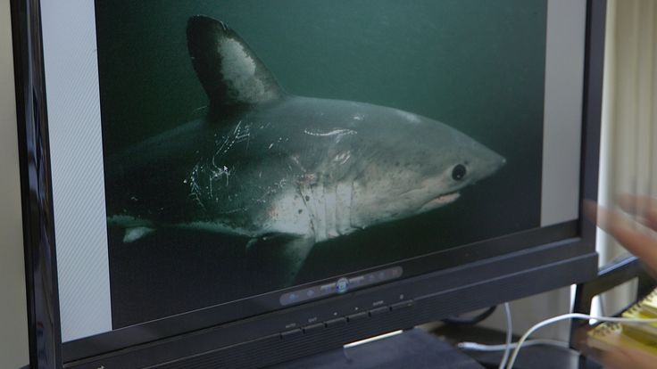 New Science Paints Picture of Salmon Shark Diet | NBC Bay Area