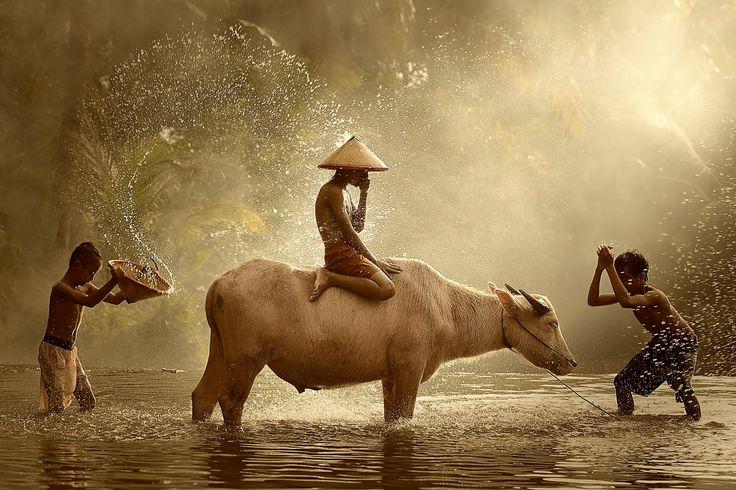 Fotografia Water Buffalo de Vichaya Pop na 500px