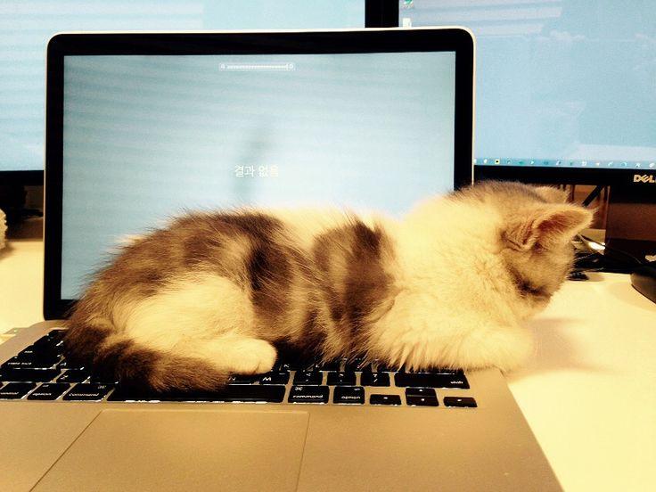 Kitten,scotish straight