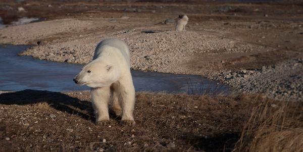 La neve è scomparsa nella Baia di Hudson, orsi polari in pericolo (FOTO)