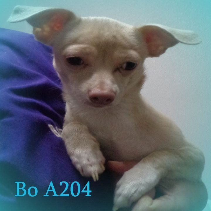 Adopt Bo On Petfinder Dog Adoption Help Homeless Pets Adoption