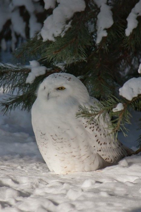 Snow Owl Cosily Sitting in Snow Under Tree