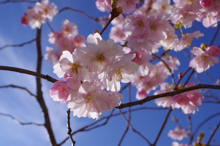 Japanese Cherry Blossom tree / Japansk körsbärsblom