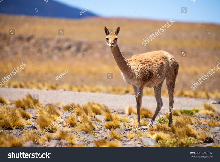Vicunas are generally living as a herd but it is not