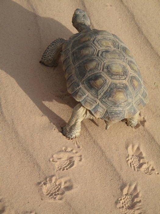 California desert tortoise :: love their footprints