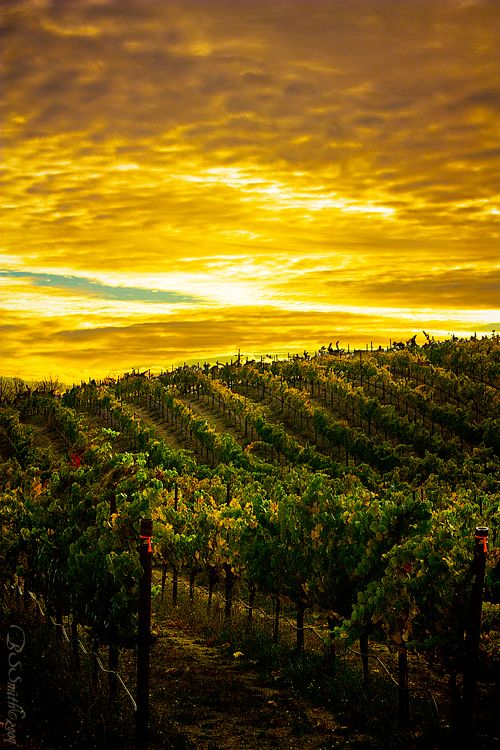 ~~California Gold | taken at a vineyard off of Orcutt Road, San Luis Obispo, California just before sunset by novelhill~~