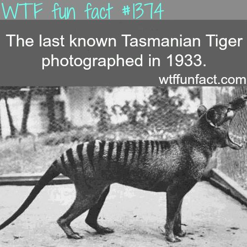 Tasmanian tiger pictures - animals fact you guys should look up this amazing creature, sad it extinct :/ WTF FUN FACTS HOME / SEE ANIMALS FACTS ARE COMING HERE also: http://en.wikipedia.org/wiki/Thylacine