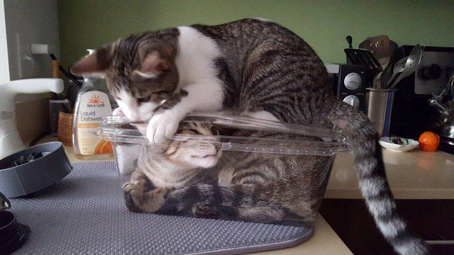 Cat sitting on lid of plastic box with another cat inside. | Cats, Funny  animals, Funny animal memes