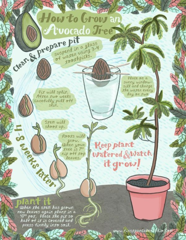 How to Grow an Avocado Plant Infographic.You can easily grow an avocado plant from an avocado pit. You can't mess this up - I've done it and didn't kill it. This is perfect for teaching kids about where plants and food come from.  For more infographics on TBMY go here.This illustration and Infographic of How to Grow an Avocado Tree is by Jessica McGuirl at First Pancake Studio.(via Passions for Fashion)