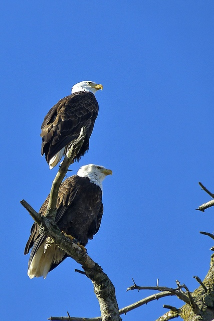 It's February, mating time.  Eagles are everywhere these days. Campbell River is blessed with hundreds of bald eagles that can be seen near the shore on a daily basis.