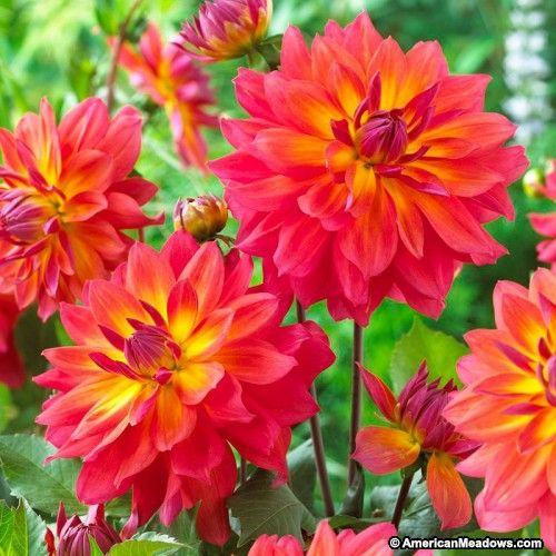 how to cut dahlia flowers