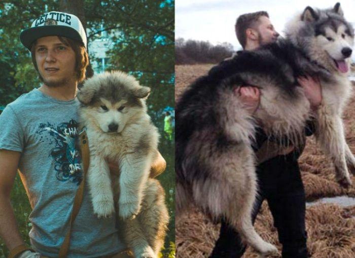 Симпатичный щенок маламута со временем превратился в настоящего гиганта.