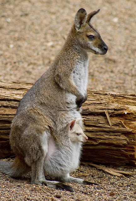 Wallaby & Joey | Managed to get a photo today of the baby jo… | Flickr