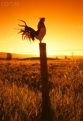 wake up when the rooster crows... just love Our DearGentle Ben did a great rooster crow & often woke us up that way,
