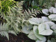 3 plantas perennes de sombra que brillan en primavera - http://jardineriaplantasyflores.com/3-plantas-perennes-de-sombra-que-brillan-en-primavera/