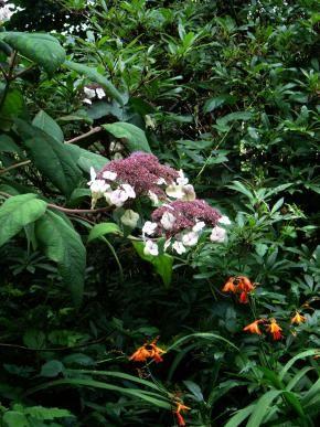 Rubladet hortensia, Hydrangea aspera. Foto: Flickr