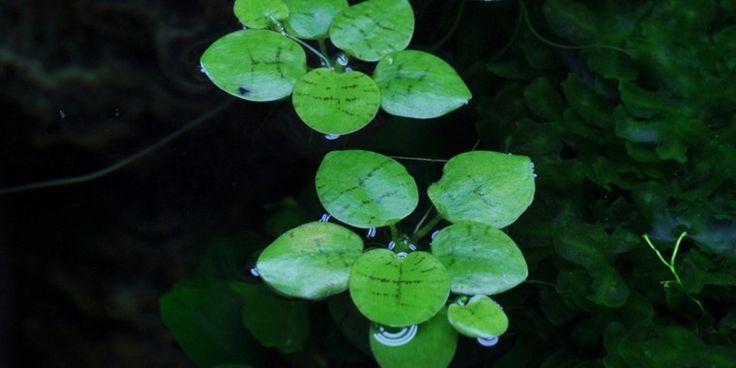 Limnobium laevigatum - Tropica Aquarium Plants