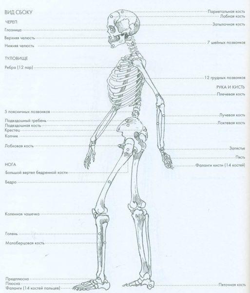 Скелет человека — Уроки рисования