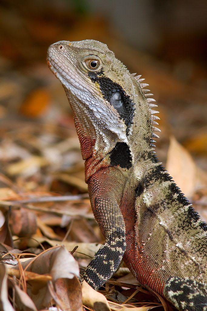 Australian Water Dragon Lizard: 270 Best Lizards Images On Pinterest