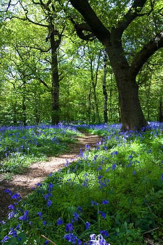 Reminds me of the bluebell woods of my childhood. I could open the back gate to this beautiful scene.