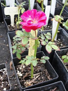 10 steps for rooting rose cuttings.