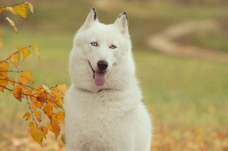 Sibirya, husky, takım, dog, arkadaş, insan,