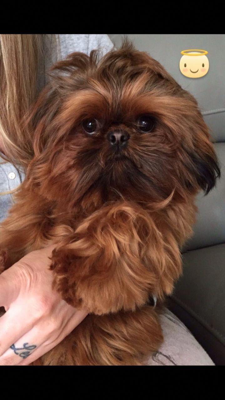 Shih Tzu Affectionate And Playful Shih Tzu Shih Tzu Dog Puppies