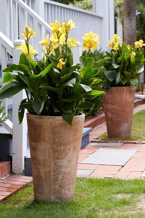 "Dwarf Yellow Canna in Tall Terracotta Planters have the ""Golden Ratio"""
