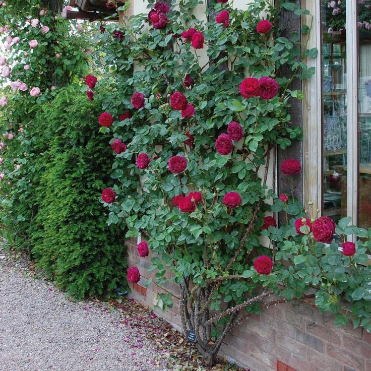 Falstaff - Bare Root Roses - Delivery Type