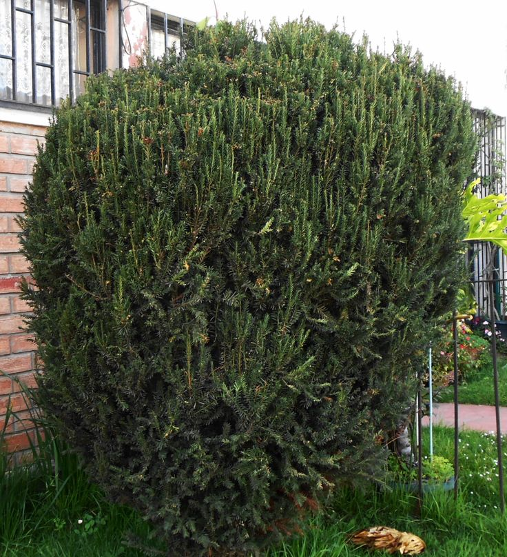1000 ideas sobre arboles ornamentales en pinterest for Arbustos ornamentales