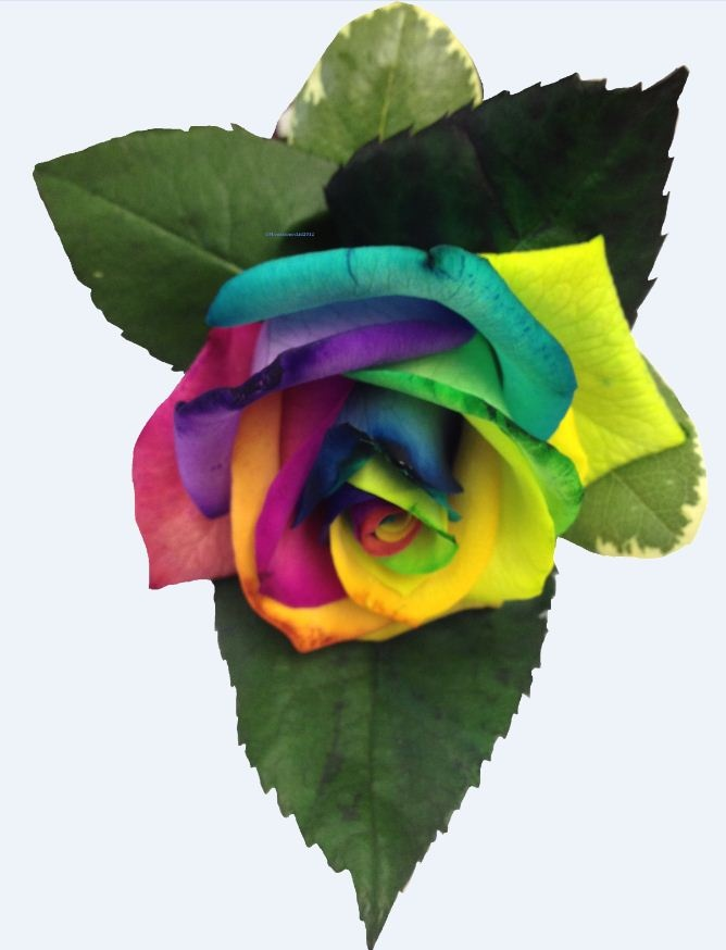 8 best flores color lila y morado images on pinterest for How much are rainbow roses