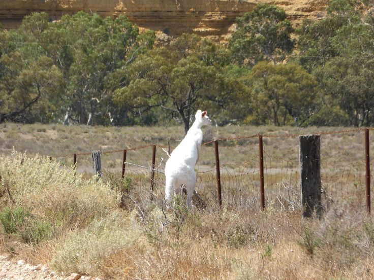 A very, very rare Albino Kangaroo. Photo taken recently near Big Bend on the Murray River, Victoria. - Pic courtesy of Riverglen Marina Houseboat Hire