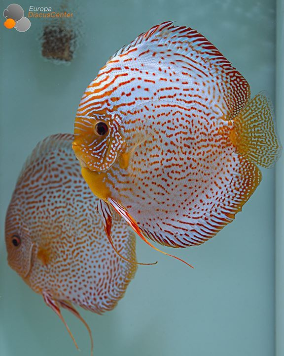 Best 25 discus ideas on pinterest for Best place to buy discus fish